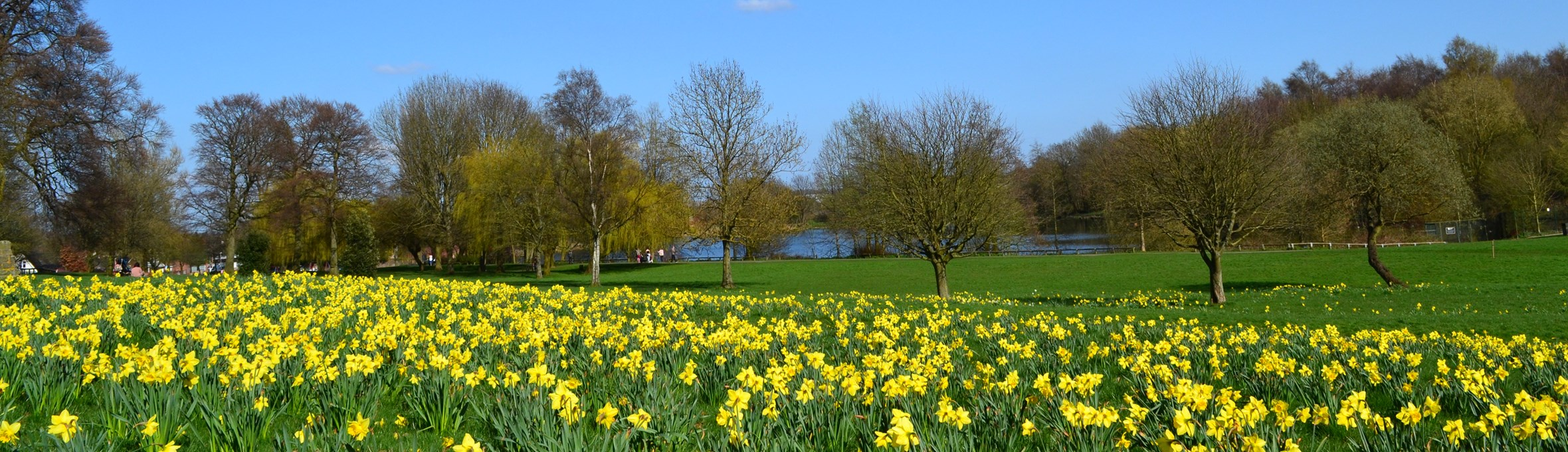 Daffodils, trees and blue sky with lake just showing in background